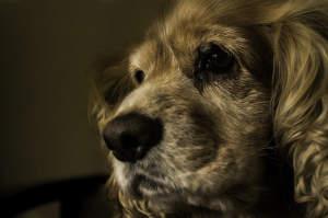 La importancia de revisar los oídos de tu perro