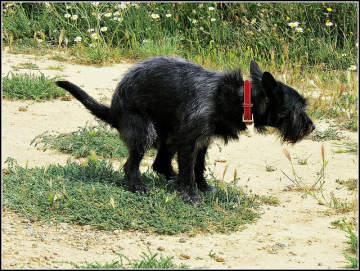 El estreñimiento en los perros